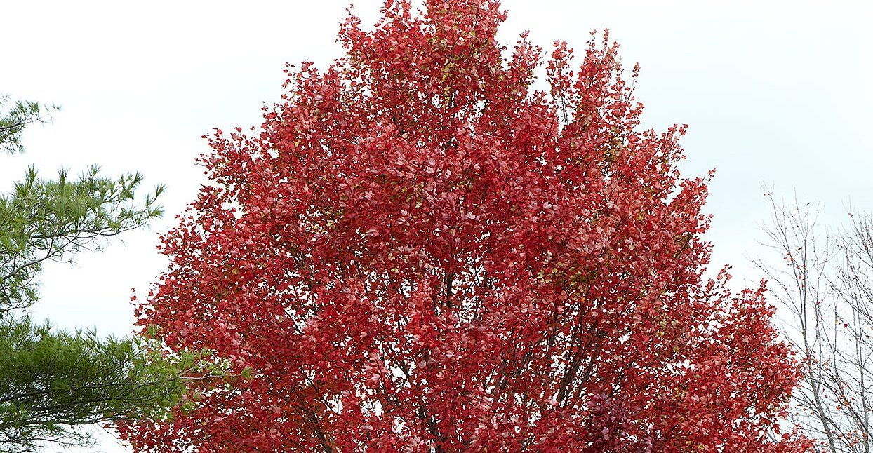 Heres how long itll take a newly planted red maple to