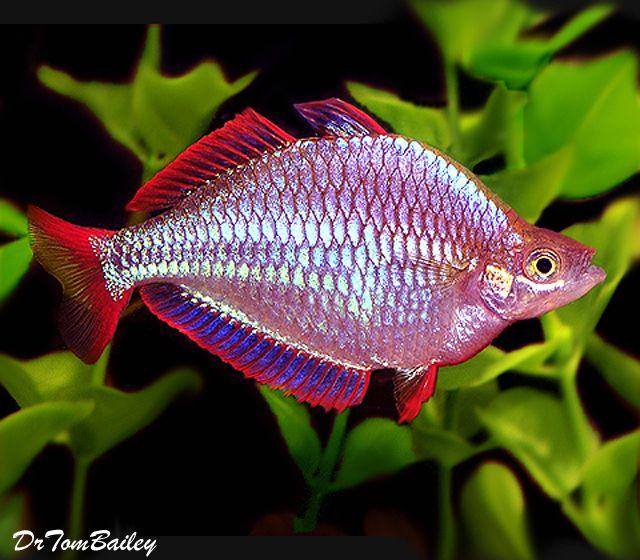 Pin On Rainbow Fish