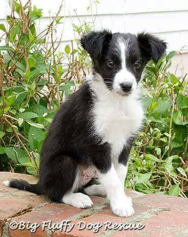 Aussie Border Collie Mixed Collie Mix Beautiful Dogs Border