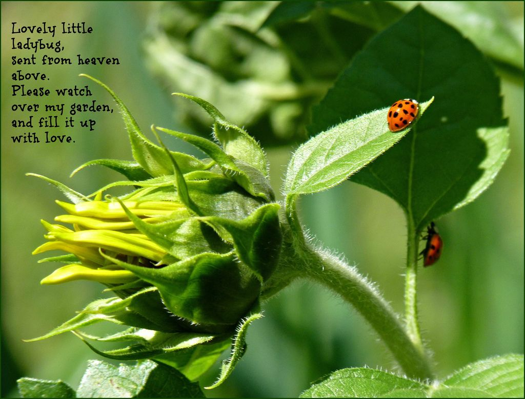 Ladybugs and Sunflower Buds | Flickr - Photo Sharing!