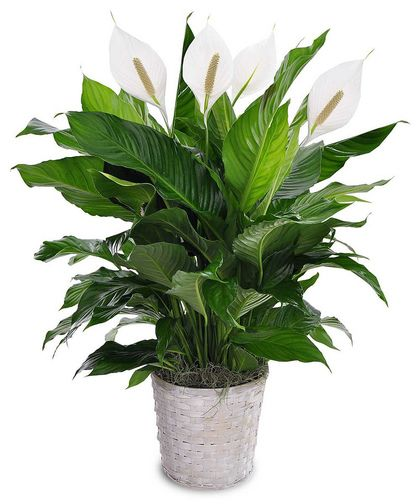 plantthe plant also commonly know as a peace lily features large green - Peace Plant Care