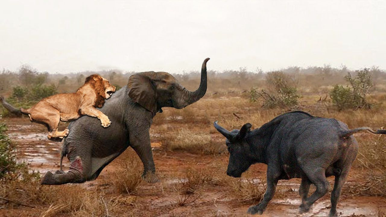 Amazing Buffalo Rescue Baby Elephant From A Pride Of Lion Hunting