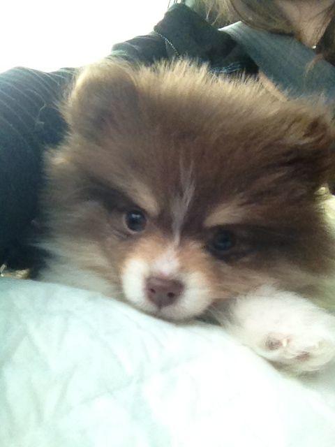Pomeranian Puppy For Sale In Calhoun Ga Adn 62450 On Puppyfinder Com Gender Male Age 8 Weeks O Pomeranian Puppy For Sale Pomeranian Puppy Puppies For Sale
