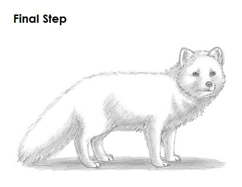 How To Draw An Arctic Fox With Images Fox Drawing Arctic Fox