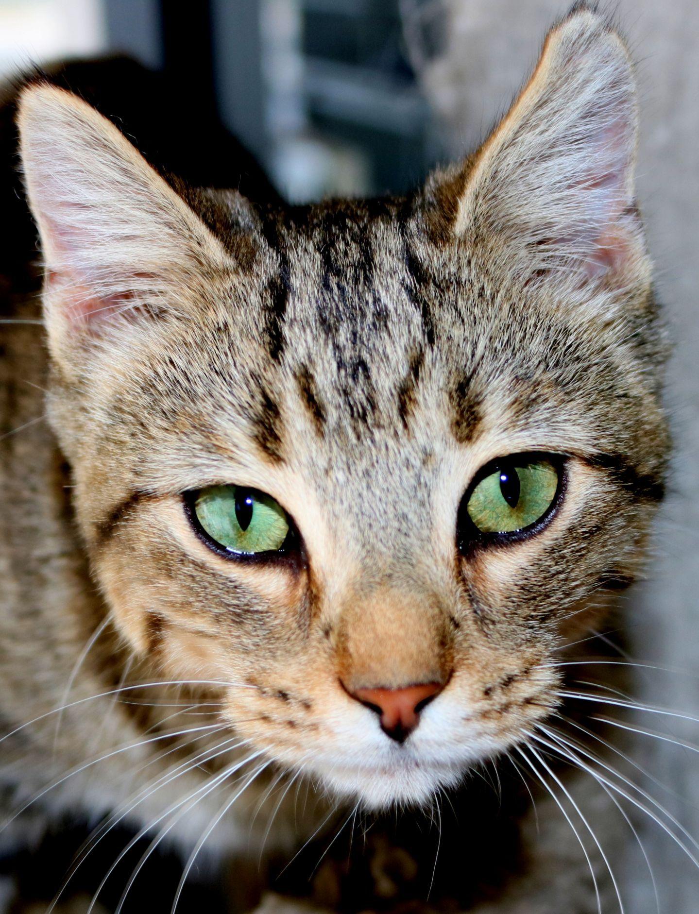 Adopt Diamond on Petfinder Cats, Animals, Tabby