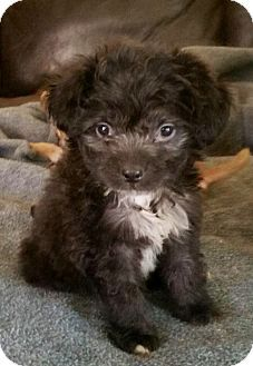 Chandler Az Shih Tzu Pomeranian Mix Meet Starburst A Puppy For Adoption Puppy Adoption Shih Tzu Pomeranian Mix