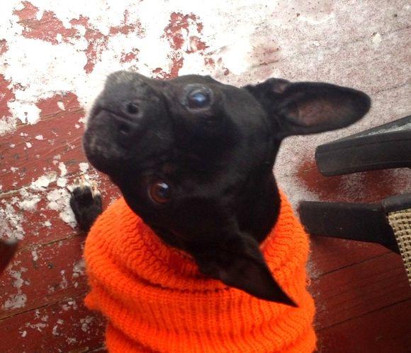 Adopt Mason On Boston Terrier Rescue Boston Terrier Dogs