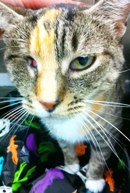 Indy Partially Blind Urgent My Name Is Indy A17338637 And I M A Special Girl Looking For A Loving Home I Have Pretty Fur That Has Ta Animals Pets Tabby
