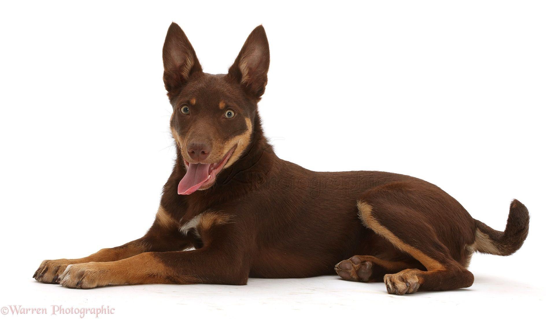 Pup Toys For Australian Kelpie Australian Kelpie Dog Ball Dogs