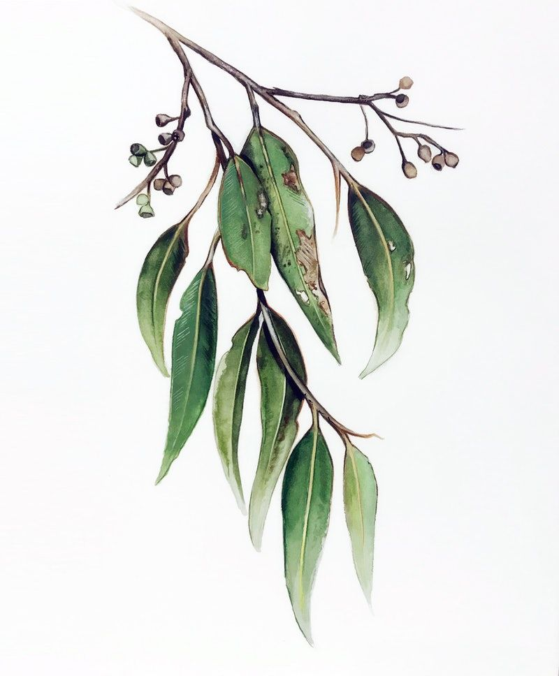 Eucalyptus Leaves and Gum Nuts painting (Size A2