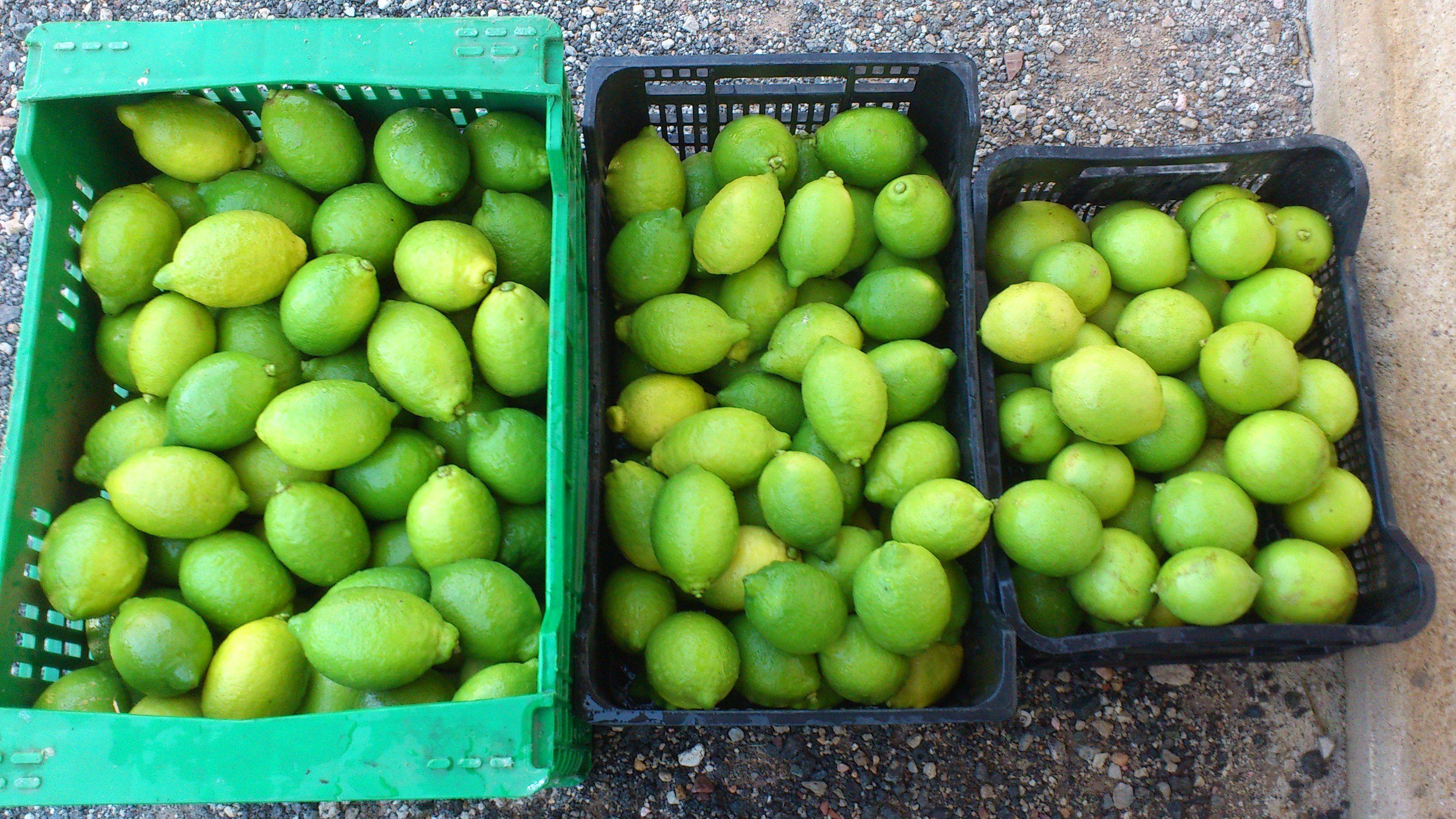Limón fino_verdoso y rodrejo!    Recién cortado!