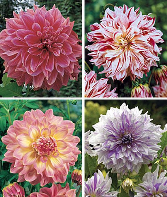 Dinner Plate Collection Ii Dahlia Seeds And Plants Flowering Bulbs At Burpee Com Bulb Flowers Annual Flowers Flowers