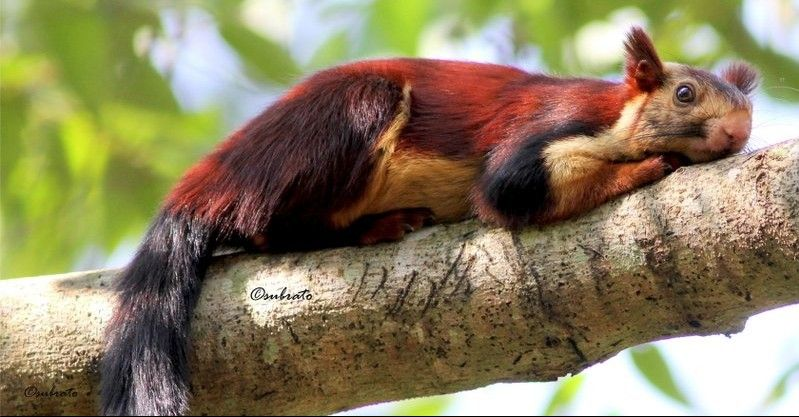 Malabar Giant Squirrel Giant Squirrel Animals Animals Beautiful