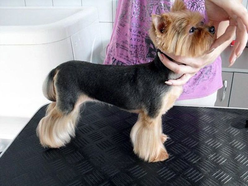 how to groom a yorkie mix