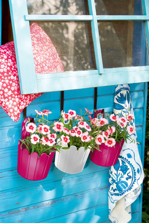 Holt Euch Den Fruhling Nach Hause Mit Obi Nelken Balkonpflanzen