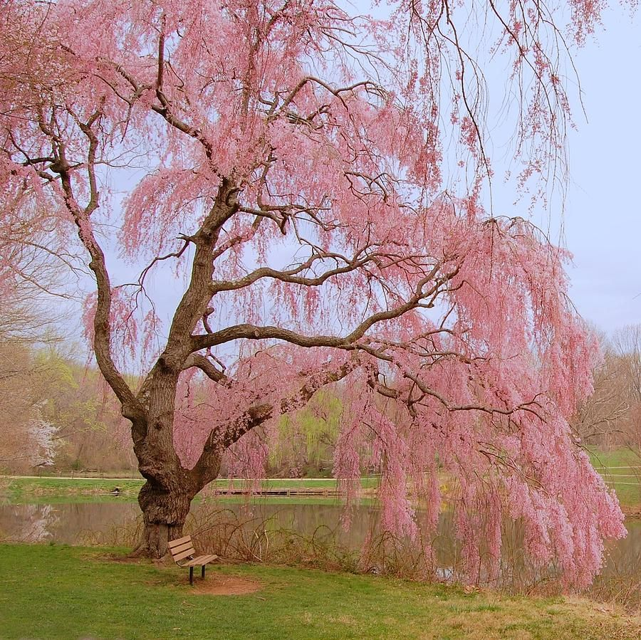 Pin By Hi We Re Dch Honda People On Lovely New Jersey Spring Scenery Weeping Cherry Tree Cherry Tree Tattoos