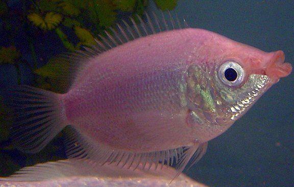 Kissing Gourami Kissing Gourami Fresh Water Fish Tank Aquarium Fish