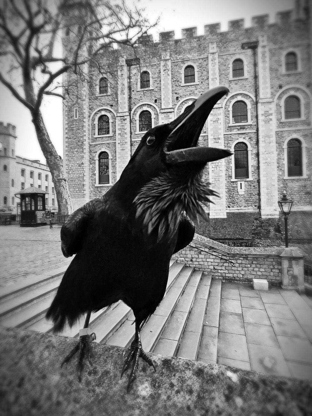 Ravenmaster on   Raven   Pinterest   Cuervo, Anatomía animal y Pájaro