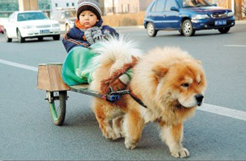 The Chowchow Was Used By The Chinese As A Working Dog Doing