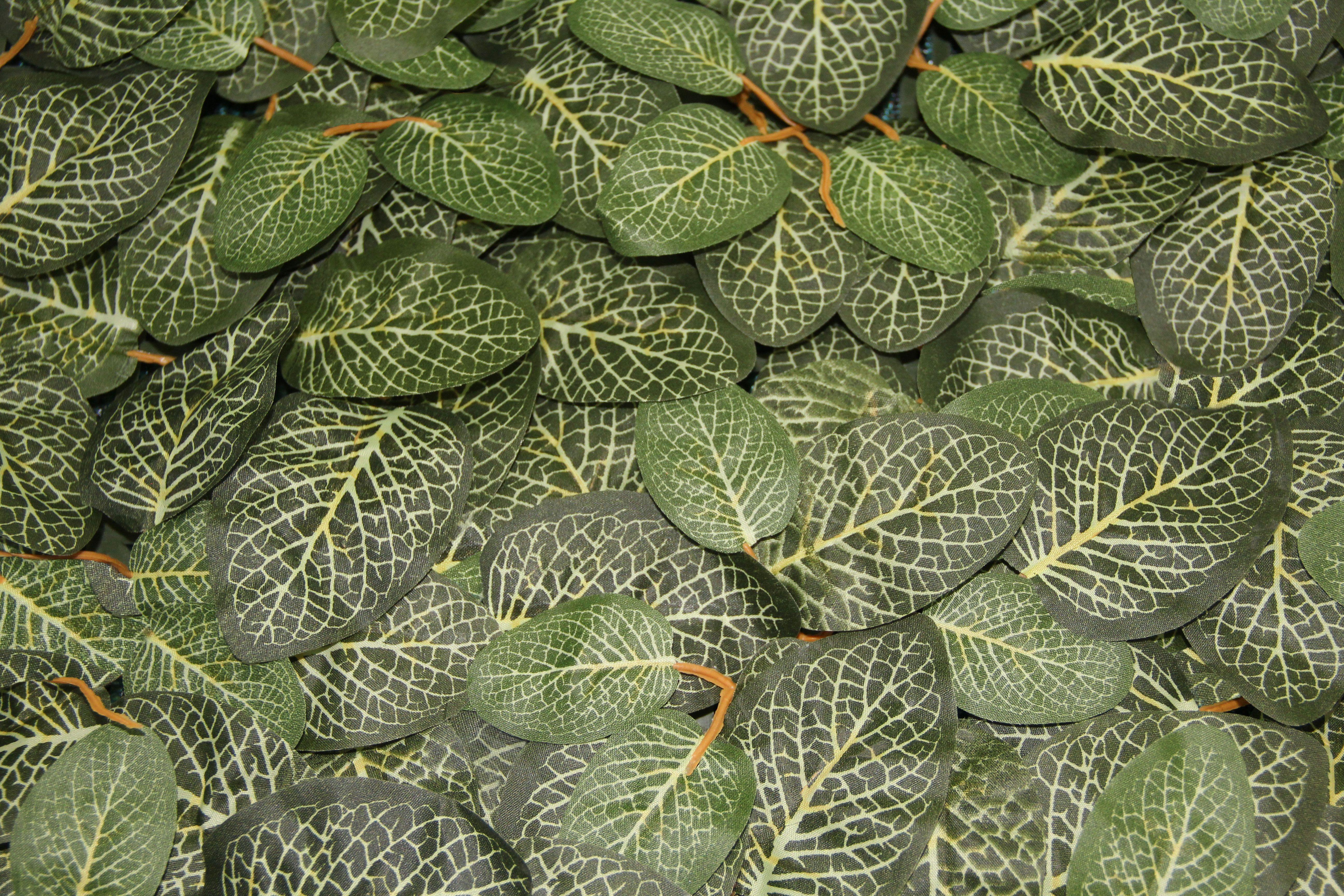 Fitonia es una planta peque a ornamental con hojas for Una planta ornamental