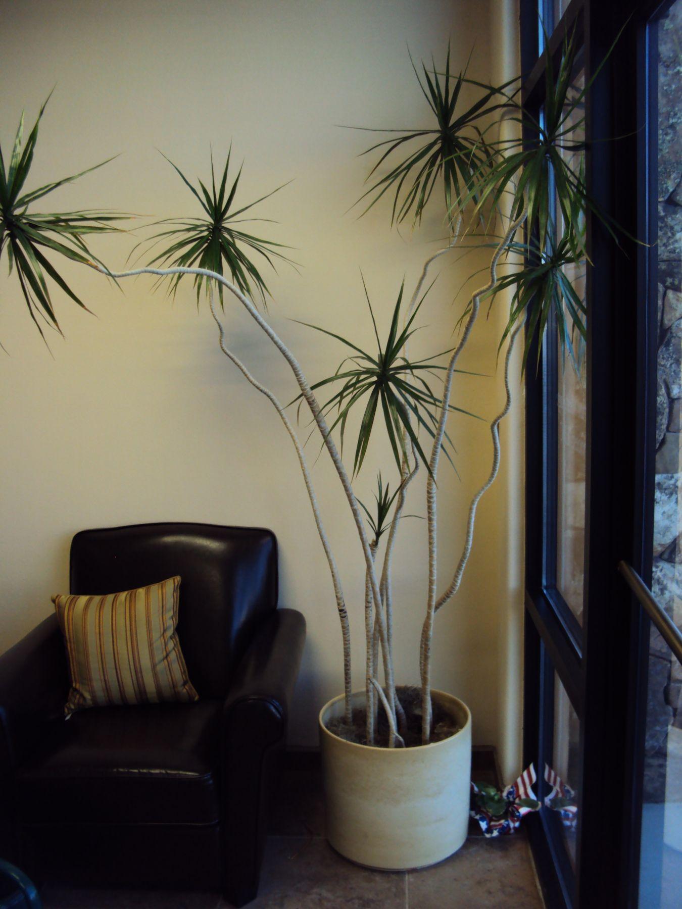 Dracaena marginata indoor garden pinterest plante interieur plantes et plantes vertes - Entretien dracaena marginata ...