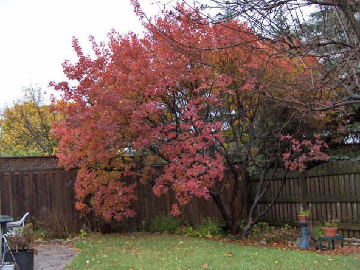 Cotinus coggygria (Smoke Tree) Water Use: Low Size: 10 ...