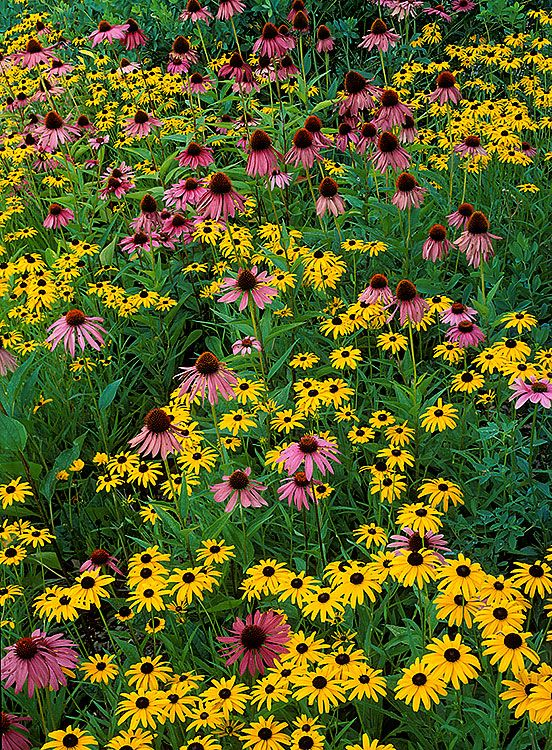 Purple Coneflowers Black Eyed Susans Holden Arboretum Ohio Ian Adams Photography