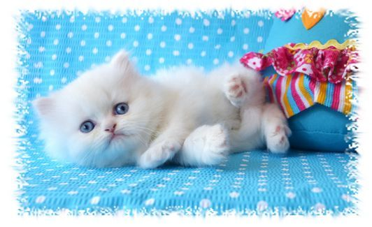 Blue Eyed White Tea Cup Persian Kittens Persian Kittens For