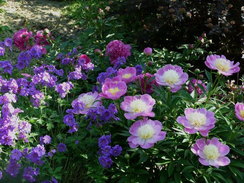 Forum Ogrodnicze Oaza Topic Piwonie W Ogrodzie Aranzacje 3 3 Flowers Plants