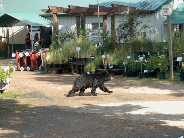 This Bear Was Looking For A Few Plants At The Fort Collins Nursery