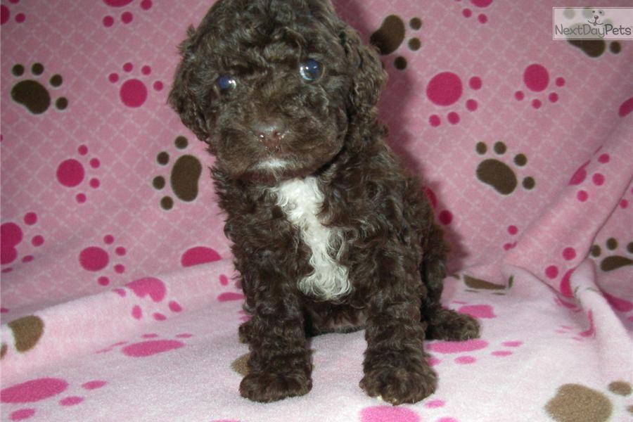 Cockapoo puppy for sale near lancaster pennsylvania