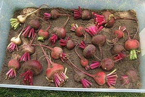 How To Preserve Your Vegetables Using Sand In 2021 How To Store Beets Storing Root Vegetables Vegetable Storage
