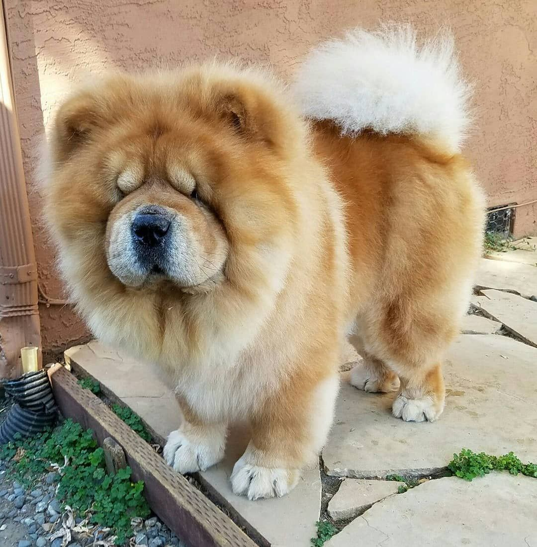 Chows On Instagram Three Year Old Chow Chowchowlovers