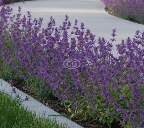 Nepeta A Faasenii Walker S Low Green Thumb