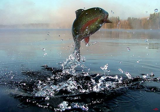 The Rainbow Trout jump. For more fly fishing info follow ...