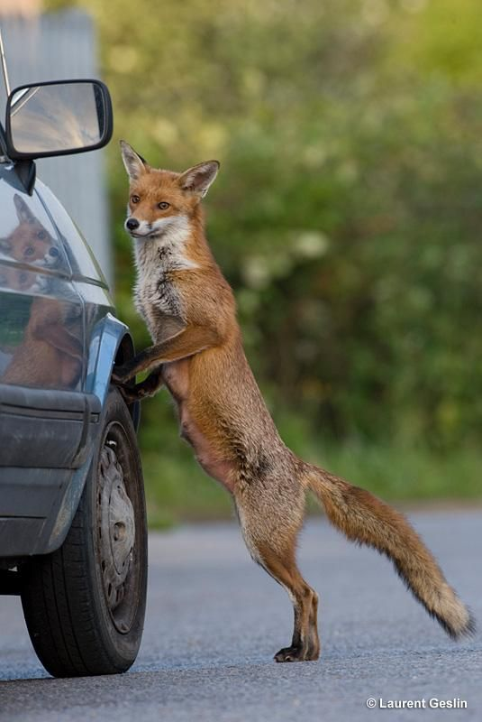 Red Fox by Laurent Geslin | On the road | Pinterest | Red fox, Foxes ...
