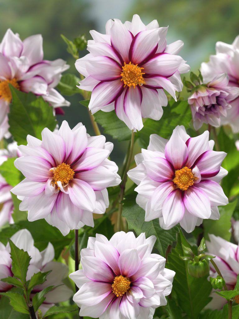 Dahlia Edge Of Joy Garden Flowers Prachtige Bloemen Dahlia