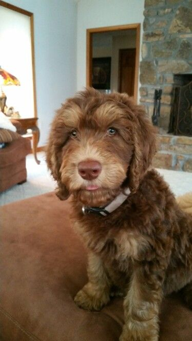 Phantom Labradoodle Pup Cute Animals Labradoodle Puppy Dog Love