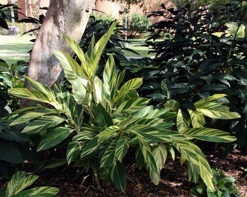 Alpinia Variegated Shell Ginger Shade Plants Beautiful Gardens Plants