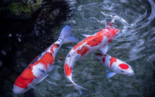 Butterfly Koi Wallpapers HD Download