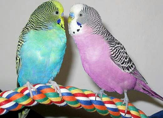 Pretty colored parakeets