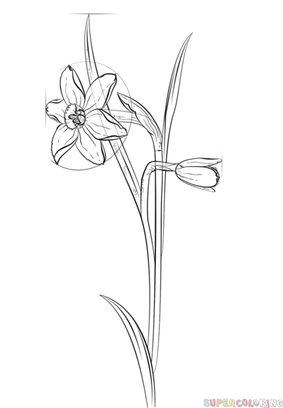 How to draw a daffodil flower step by step. Drawing