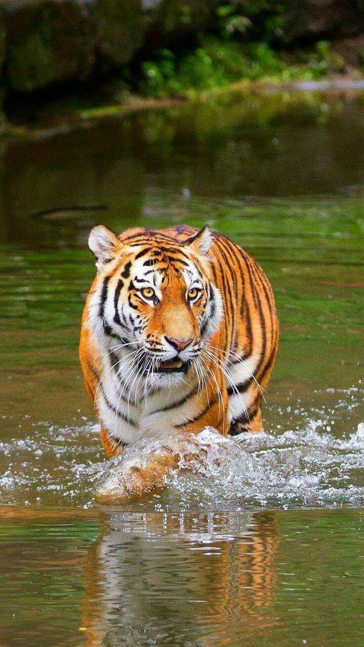 Pin von Edeltraud Petlusch auf I love tigers (mit Bildern