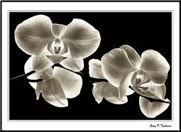 Orchids...in Black & White