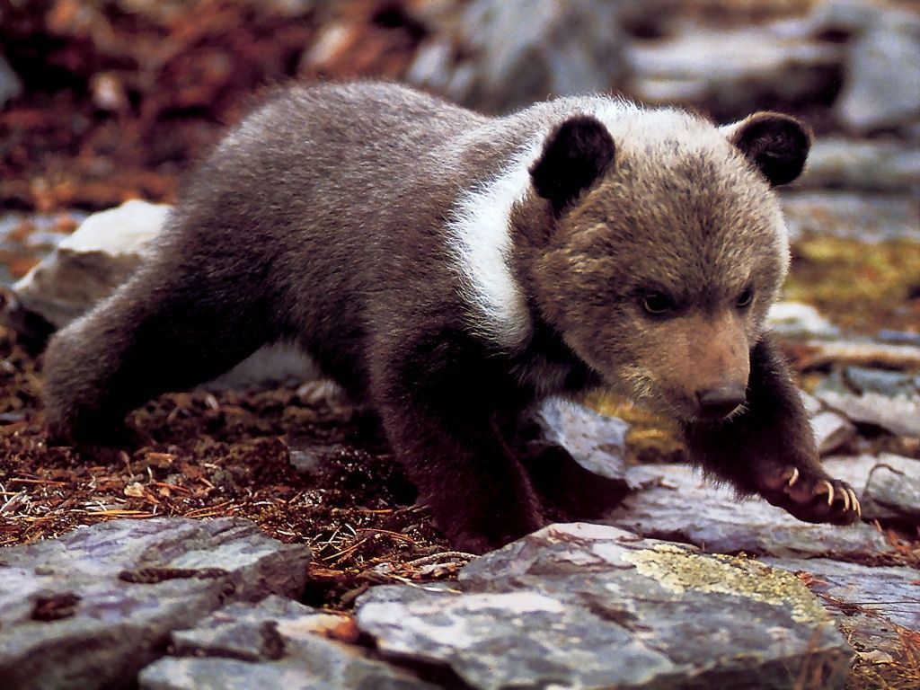Grizzly Bear Cub On All Fours (wallpaper size). | bears ...