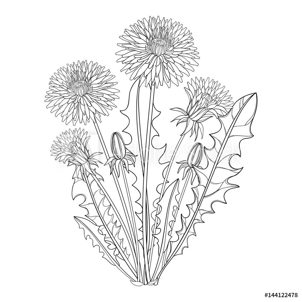 Fototapeta Premium Wektor Bukiet Z Konturu Dandelion Lub Taraxacum Kwiat Paczek I Liscie Odizolowywajacy Na Bielu O In 2020 Leaf Illustration Dandelion Spring Design