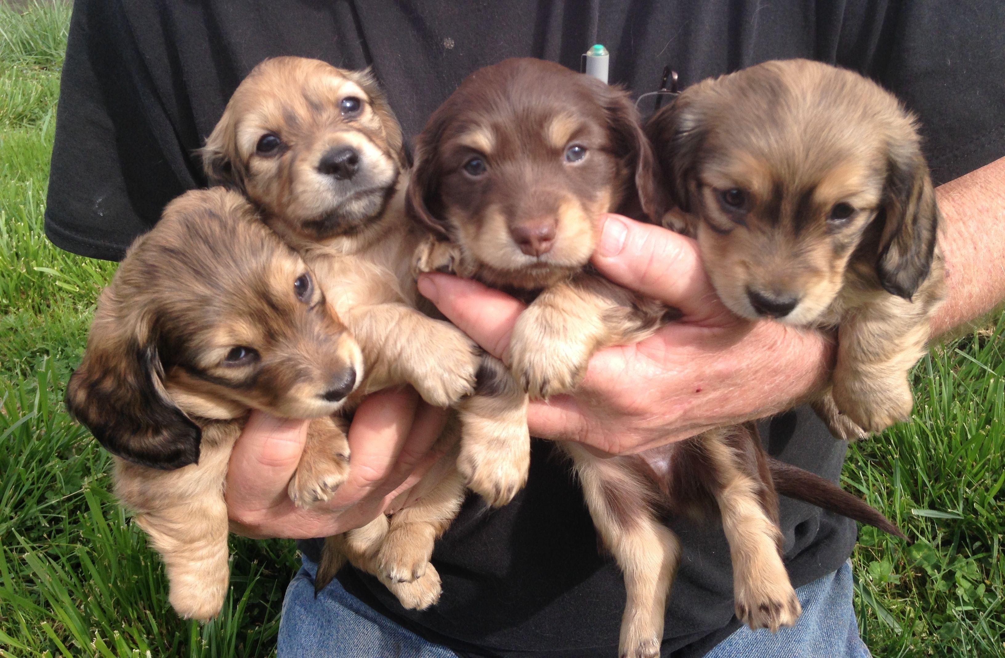 5 Week Old Longhaired Dachshund Puppies Dachshund Dachshund Puppies