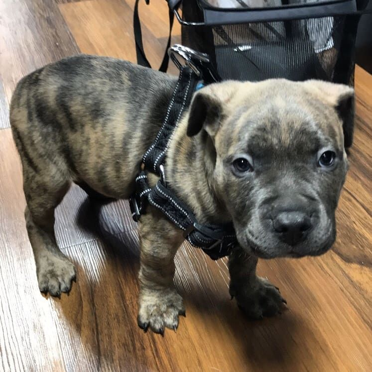 Cutecustomeralert Max Is Being Fitted For His First Harness Pet Valu Pets Animals Cute