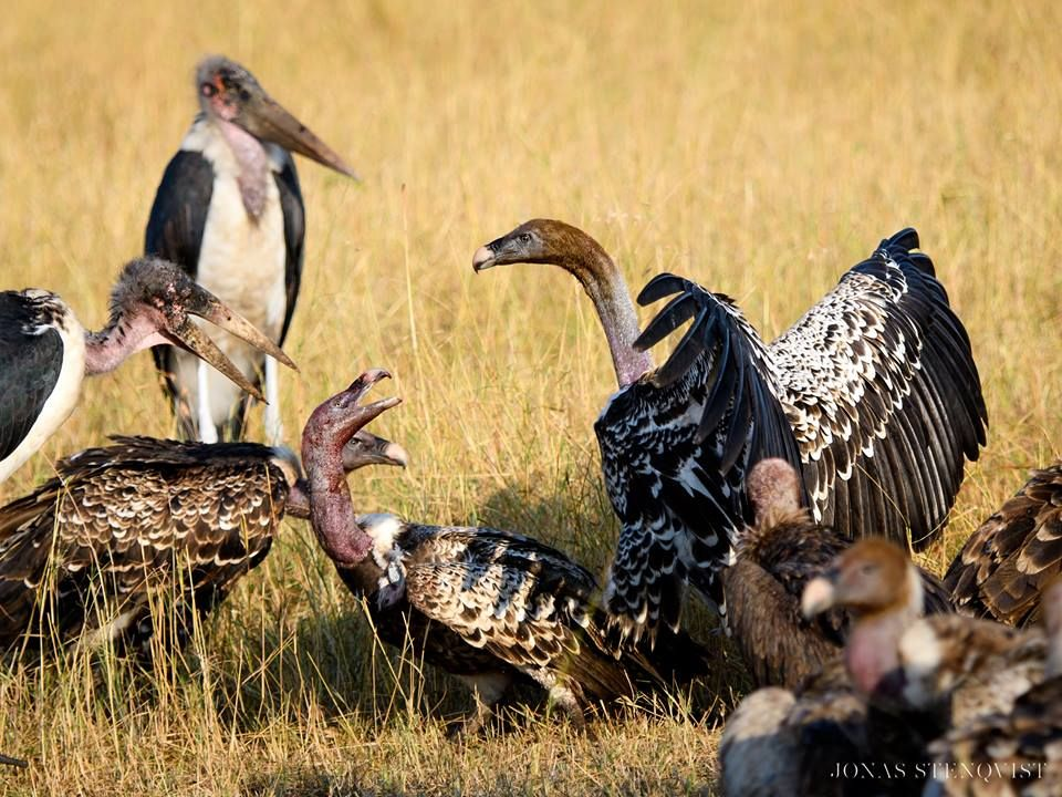 Jonas Stenqvist Photography    Squabble.  —  Vultures and marabou storks disagreeing on something on the Maasai Mara in Kenya. August 2016.