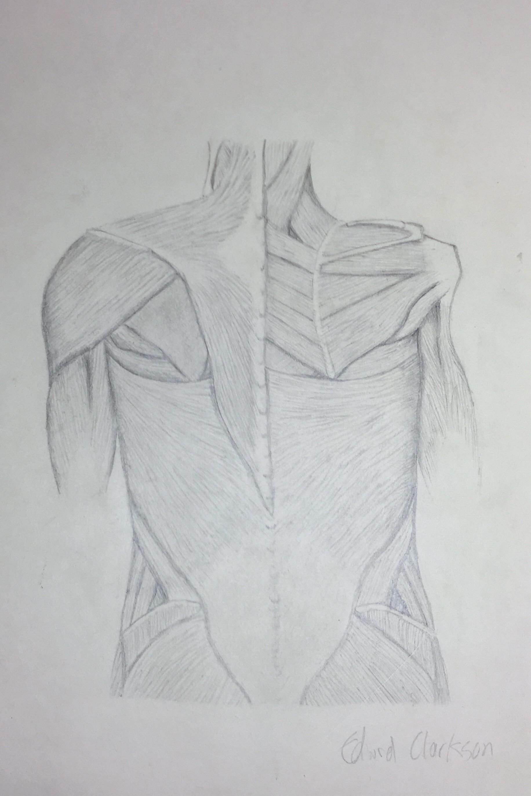 Muscles of the shoulder Pencil on paper 2530cm Drawn with help from ...